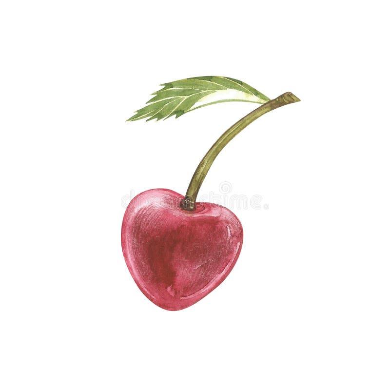 Комплект вишни на ветви при изолированные цветки, иллюстрации акварели бесплатная иллюстрация
