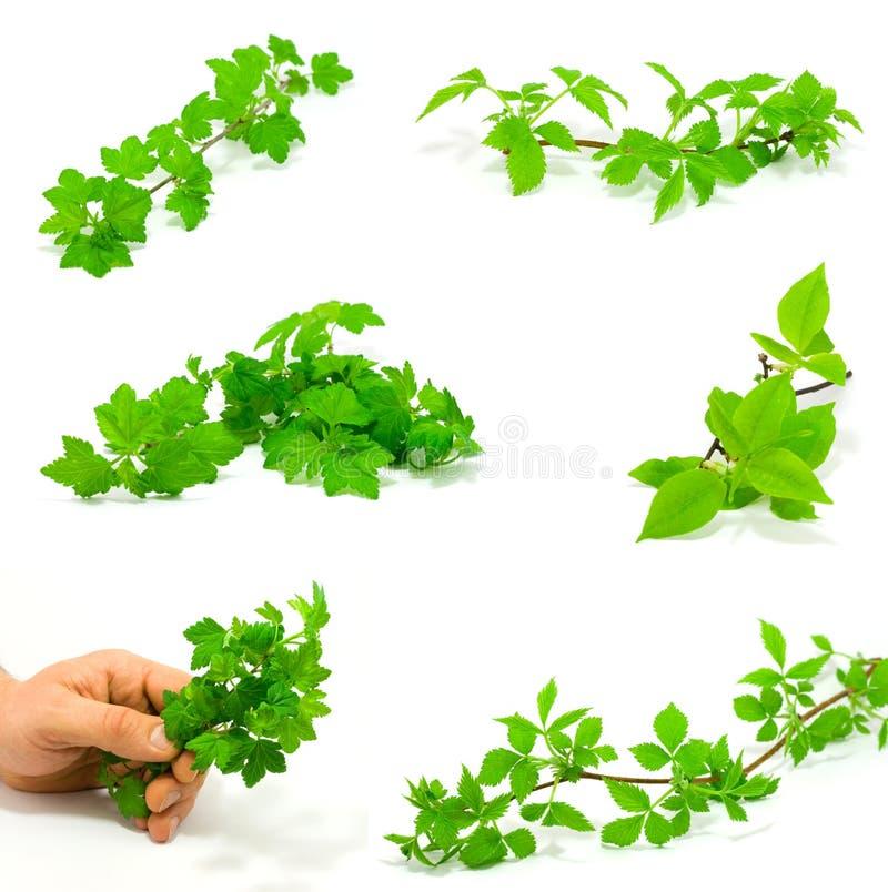 Download комплект зеленого цвета ветвей Стоковое Изображение - изображение насчитывающей поленика, молодо: 6853041