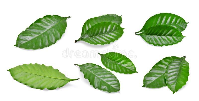 Комплект зеленых лист кофе изолированных на белизне стоковые фото