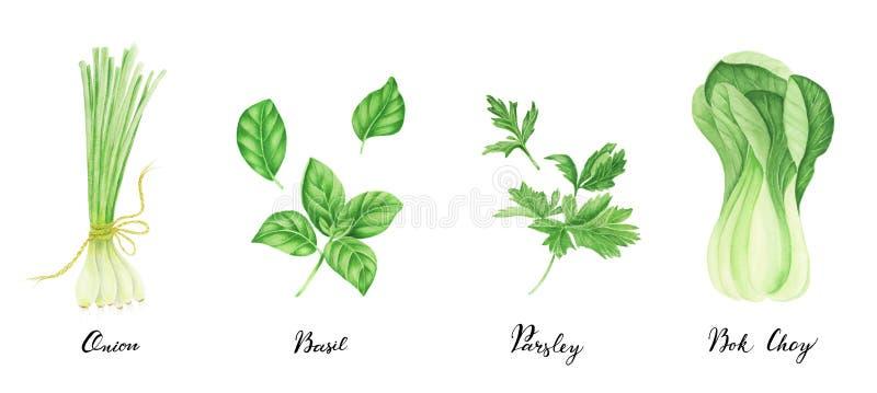 Комплект зеленых овощей с литерностью: лук, петрушка, базилик и bok choy, картина акварели иллюстрация штока