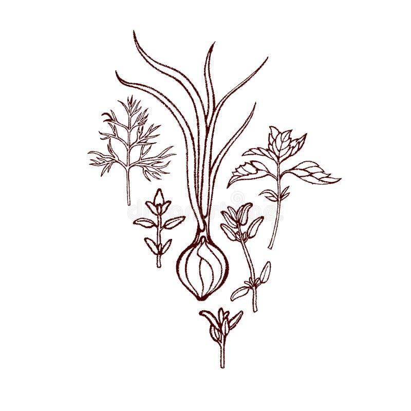 Комплект зеленых овощей Тимиан базилика укропа луков Пряные травы вычерченная рука бесплатная иллюстрация