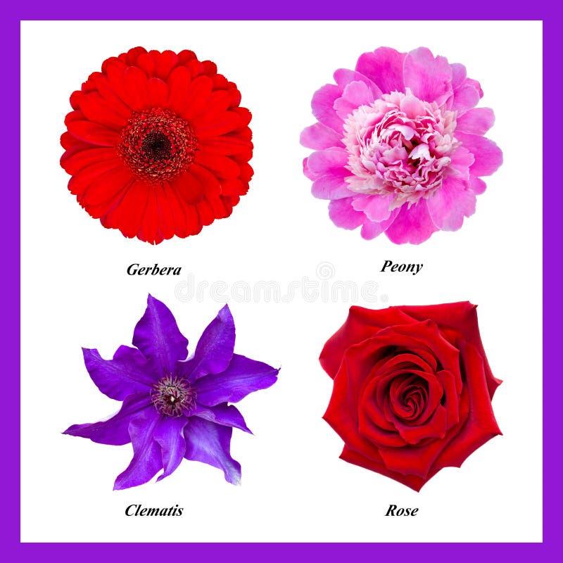 Комплект изолированных цветков: красный gerbera, розовый пион, фиолетовое clemati стоковая фотография