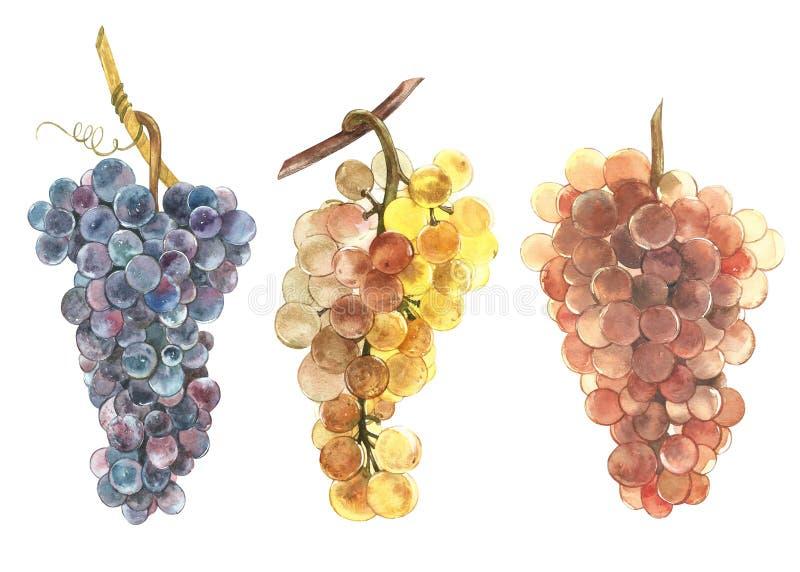 Комплект иллюстрации акварели пуков белых и черных виноградин Нарисованная рукой иллюстрация акварели бесплатная иллюстрация