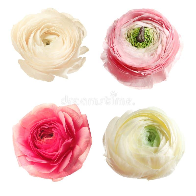 Комплект красивых цветков лютика стоковые фото