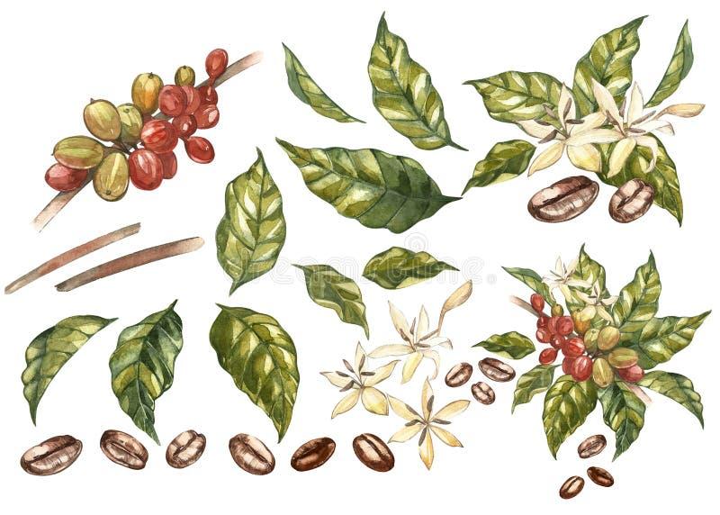Комплект красных фасолей arabica кофе на ветви при изолированные цветки, иллюстрации акварели иллюстрация штока