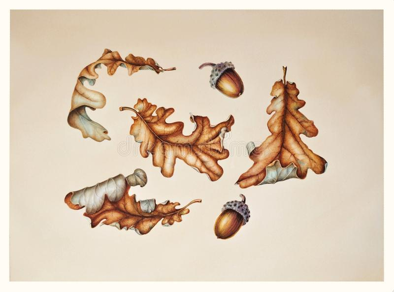 Комплект листьев и жолудей дуба осени иллюстрация штока