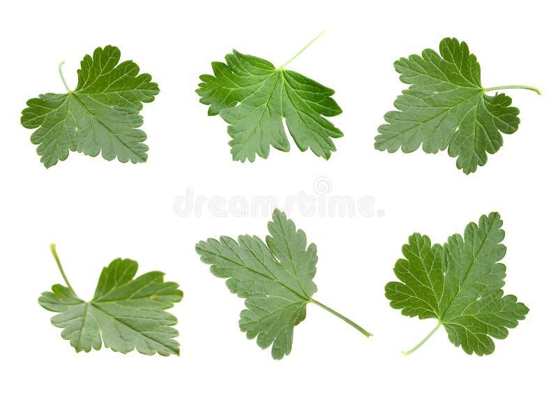 комплект листьев крыжовника стоковые фотографии rf