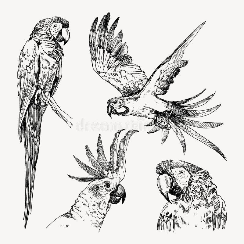 Комплект нарисованных рукой ары и какаду попугая птицы эскиза черно-белых винтажных экзотических тропических также вектор иллюстр бесплатная иллюстрация