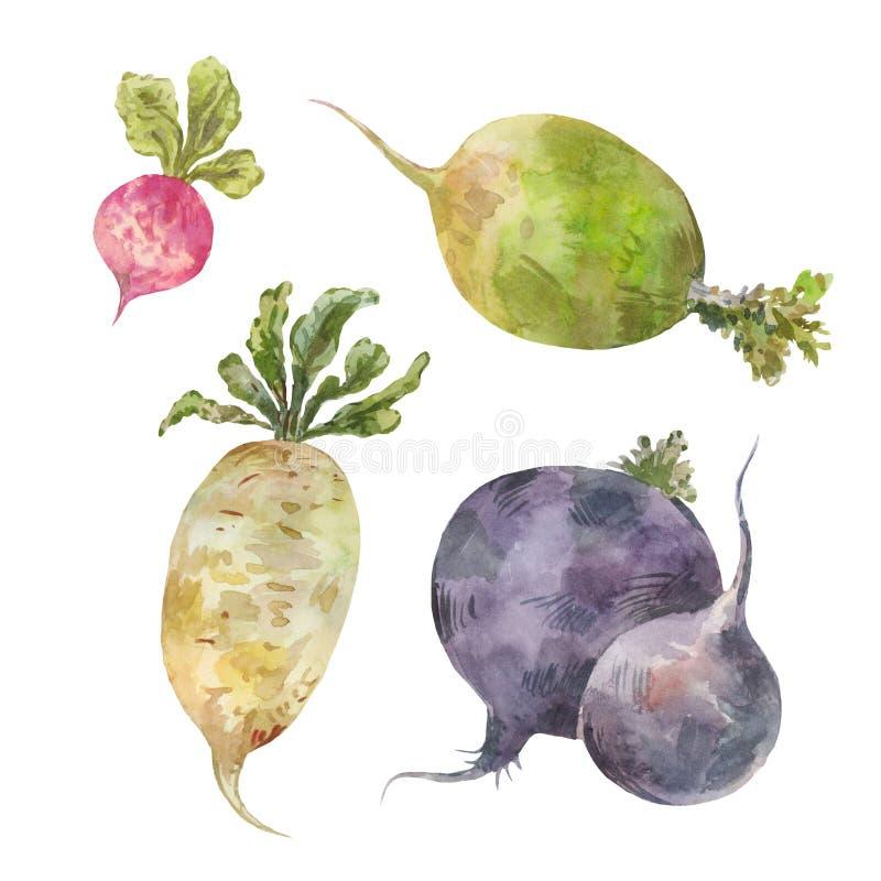 Комплект овощей корня банкы рисуя цветя замотку акварели валов реки иллюстрация вектора
