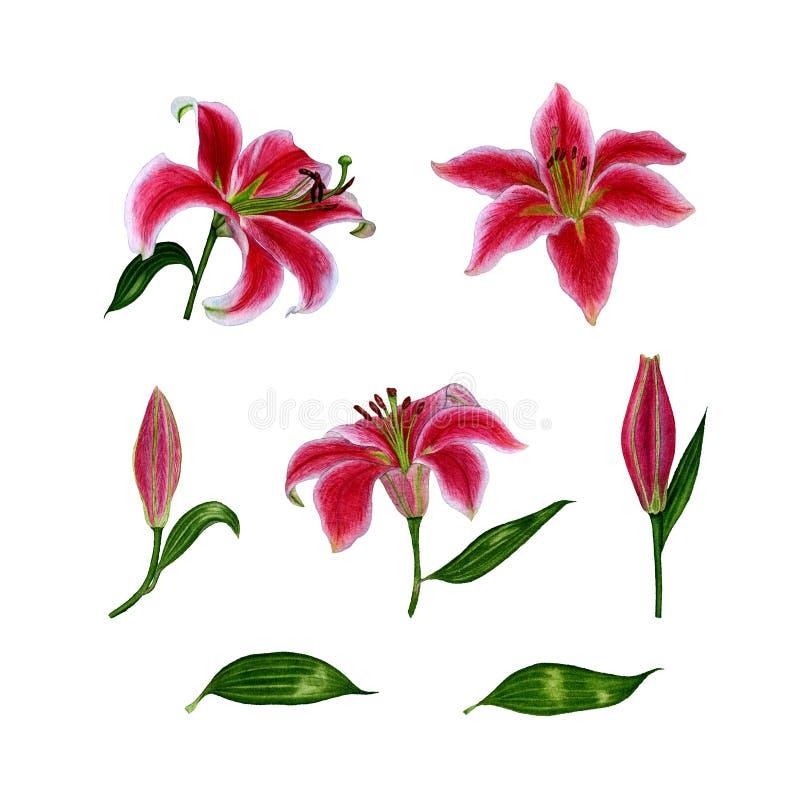 Комплект отдельных элементов от цветков лилии акварель иллюстратор иллюстрации руки чертежа угля щетки нарисованный как взгляд де бесплатная иллюстрация