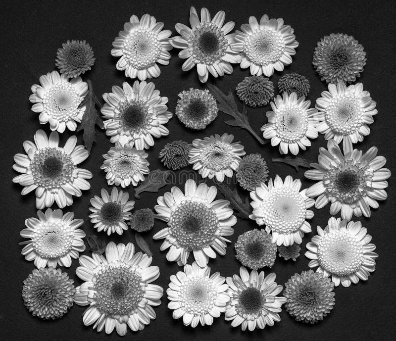 Комплект отжатой хризантемы стоковая фотография rf