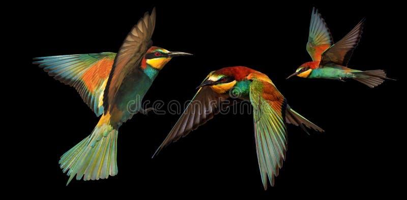 Комплект птиц цвета в полете изолированных на черной предпосылке стоковое изображение