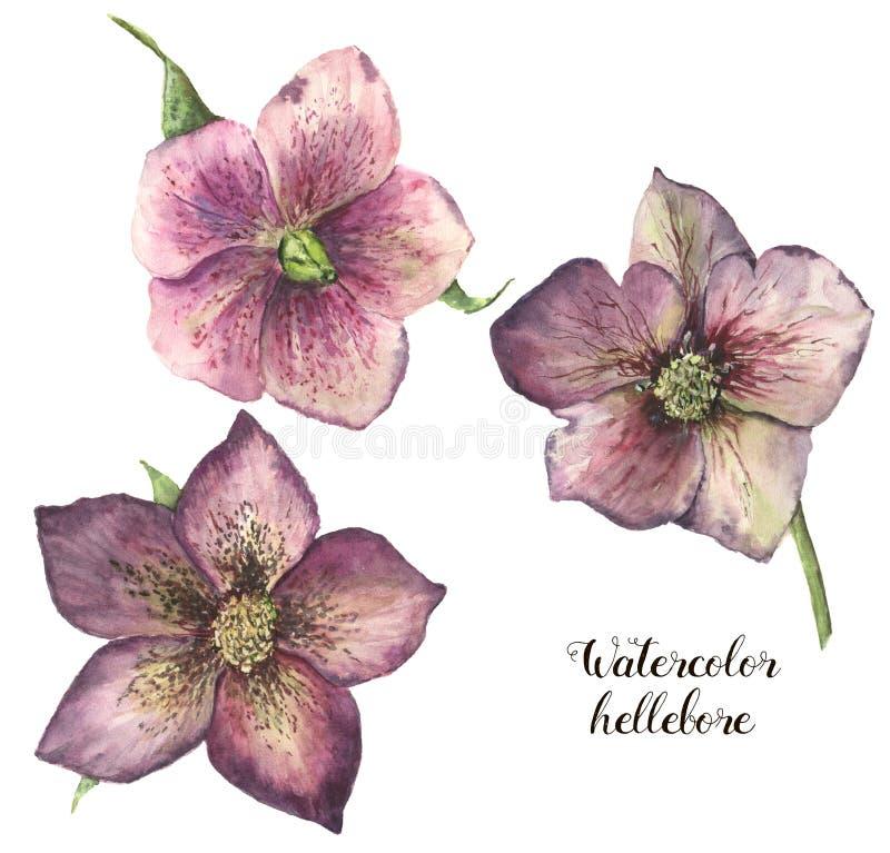 Комплект цветка морозника акварели Вручите покрашенный завод рождества при листья изолированные на белой предпосылке Флористическ иллюстрация вектора