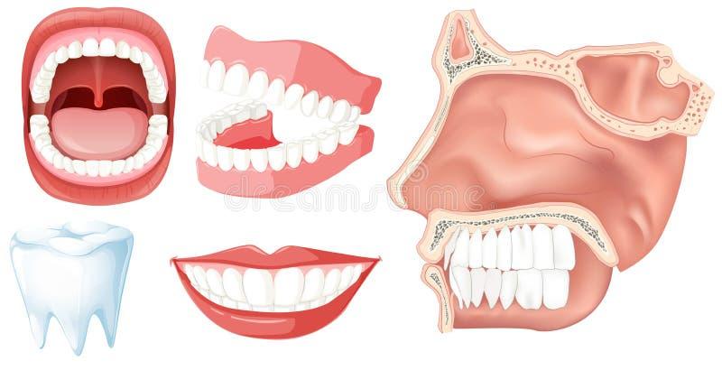 Комплект человеческих зубов иллюстрация штока