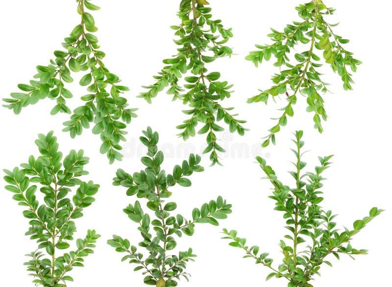 комплект evergreen ветвей boxwood стоковая фотография rf