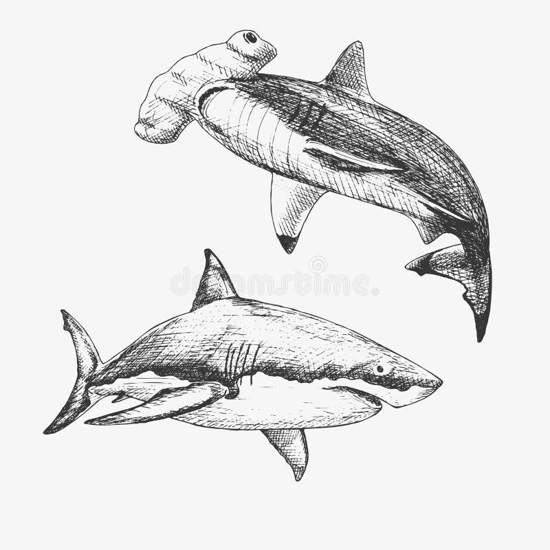 Комплект sharcks нарисованных рукой Vector иллюстрация белой акулы и акулы молота бесплатная иллюстрация