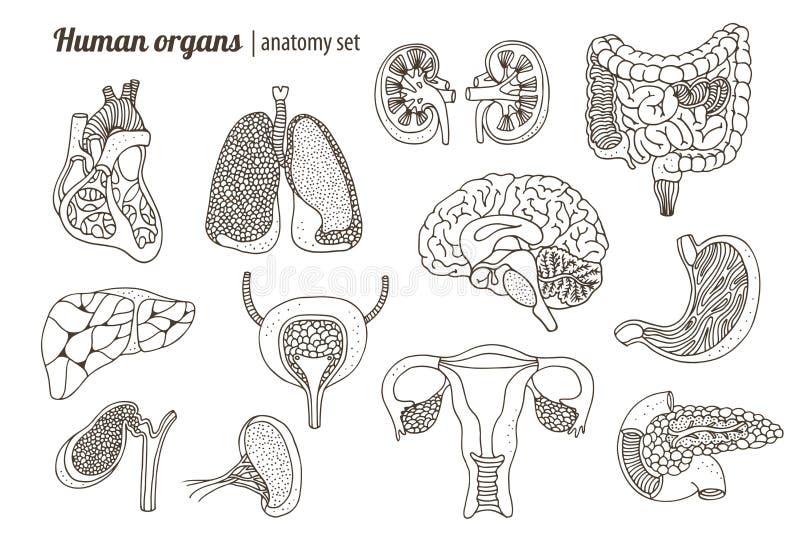Комплект анатомии человеческих органов бесплатная иллюстрация