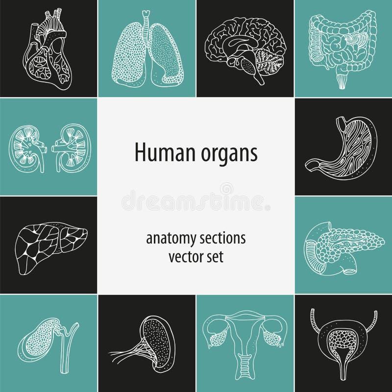 Комплект анатомии человеческих органов иллюстрация вектора