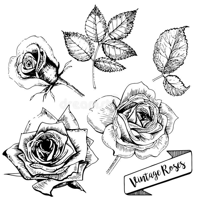 Комплект вектора роз Искусство нарисованное рукой винтажное Флористический развивает бесплатная иллюстрация