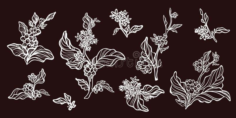 Комплект ветвей дерева кофе с кофейными зернами Ботанический чертеж контура вектор бесплатная иллюстрация