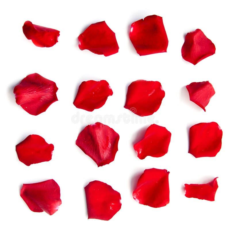 Комплект лепестков красной розы на белизне стоковая фотография rf