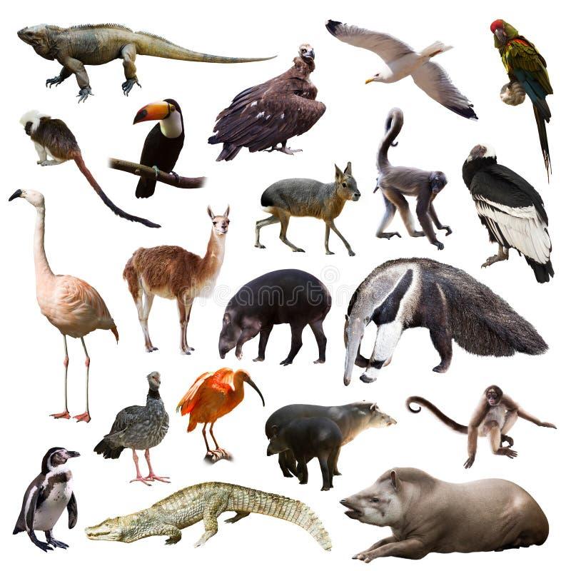 Животные южной америке в картинках с названиями