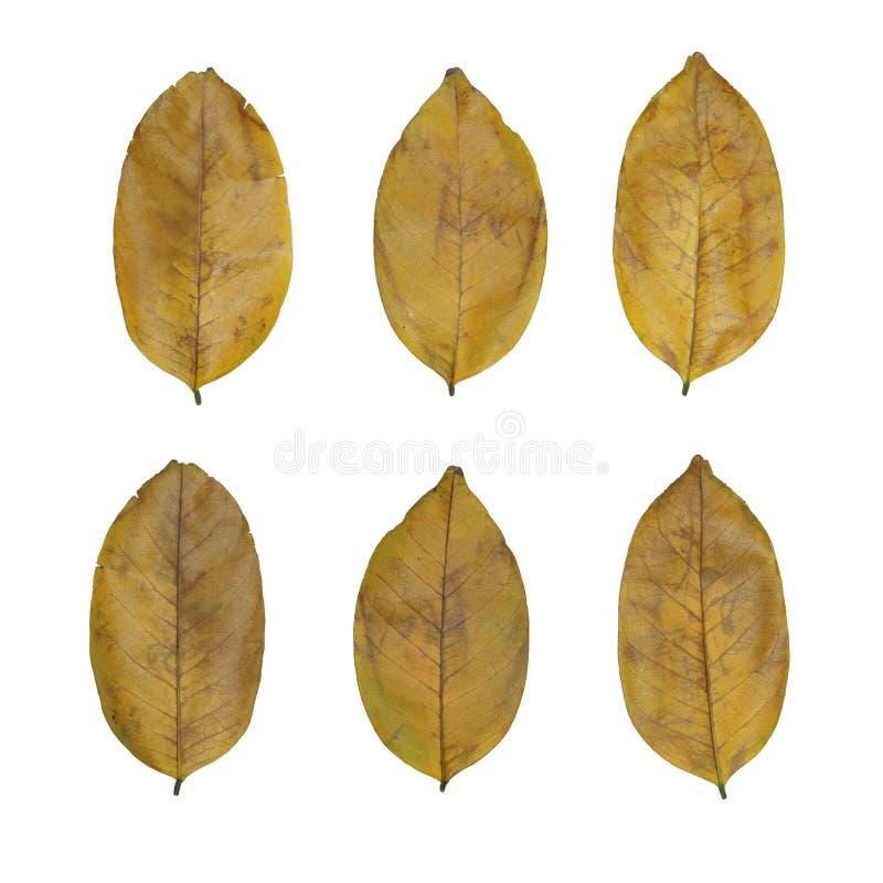 Комплект изолированный на белом сухом желтом цвете выходит стоковое фото rf