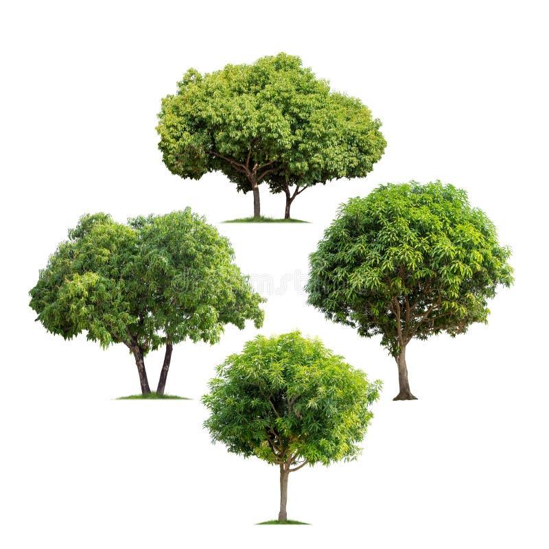 Комплект изолированных деревых манго на белой предпосылке стоковое изображение