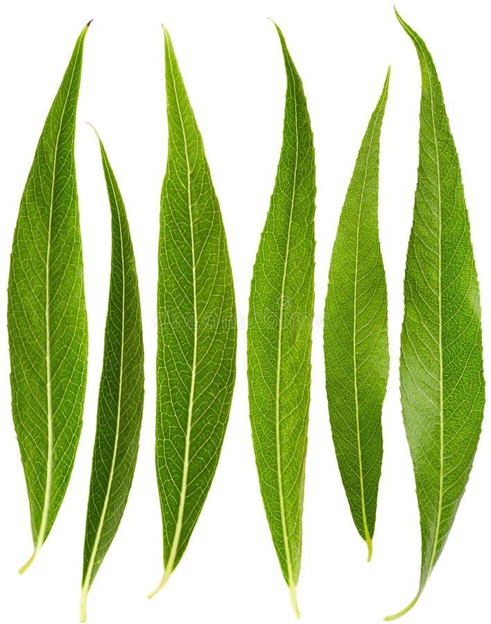 Комплект листьев вербы стоковое изображение