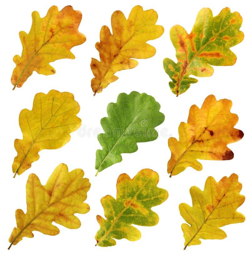 Комплект листьев осени дуба, изолята стоковое фото
