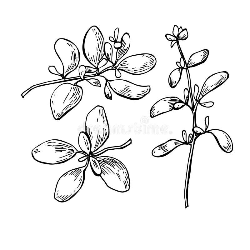 Комплект иллюстрации вектора майорана нарисованный рукой Изолированное obje специи иллюстрация штока