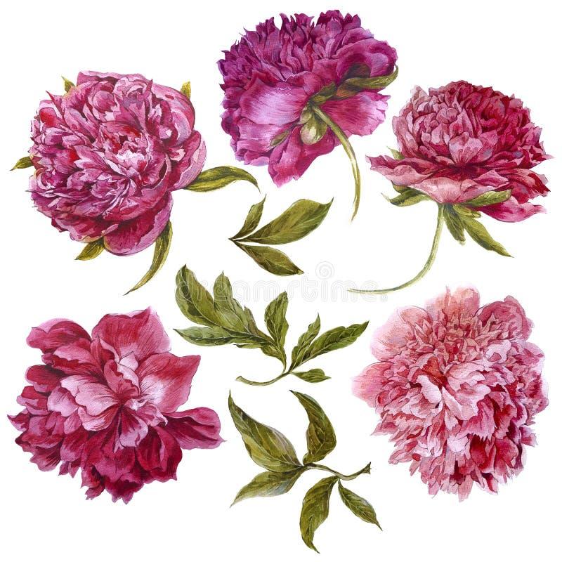 Комплект пионов акварели темных розовых, отдельный иллюстрация вектора