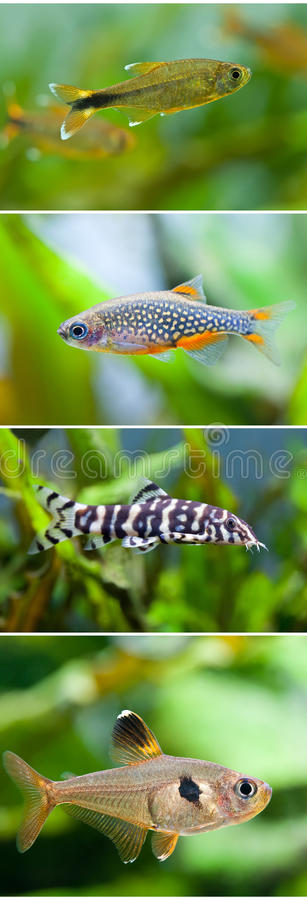 Комплект собрания рыб аквариума Серебр заплывания наклонил tetra, галактика Microrasbora жемчуга margaritatus Danio небесная стоковое изображение