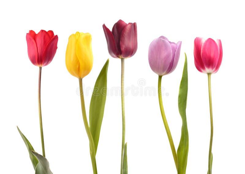 Комплект 5 тюльпанов другого цвета стоковое фото
