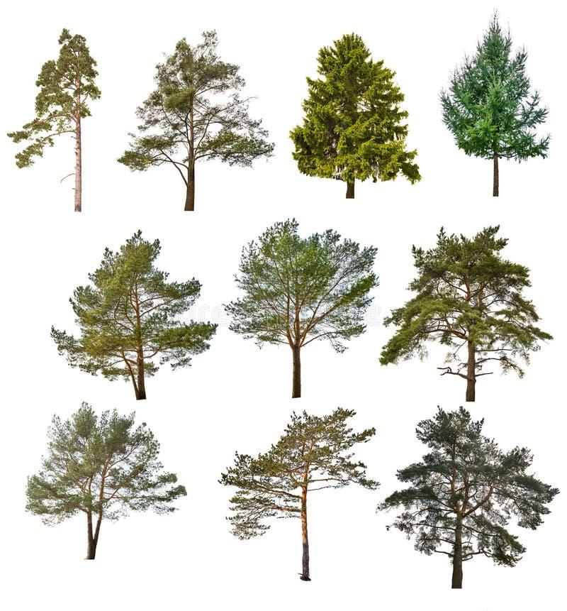 Комплект 10 хвойных деревьев изолированных на белизне стоковые изображения