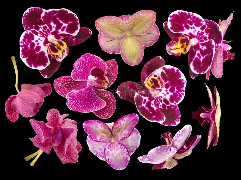 Комплект цветков орхидеи изолированных на черной предпосылке стоковое фото rf