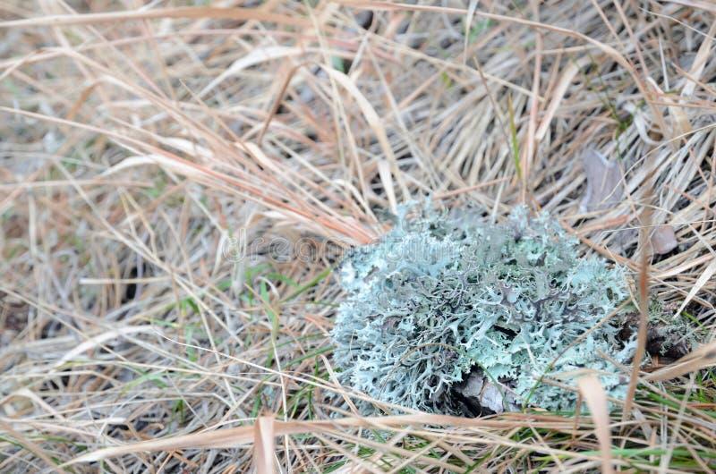 Ком света - голубого лишайника на траве осени стоковые изображения rf