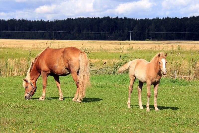 Конематка и кобылка Finnhorse на лужке травы стоковое фото