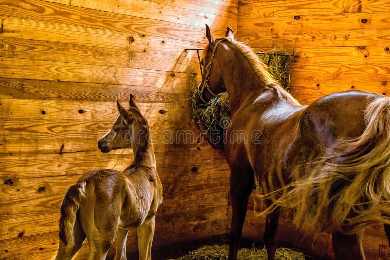 Конематка и кобыла в стойле стоковое фото rf