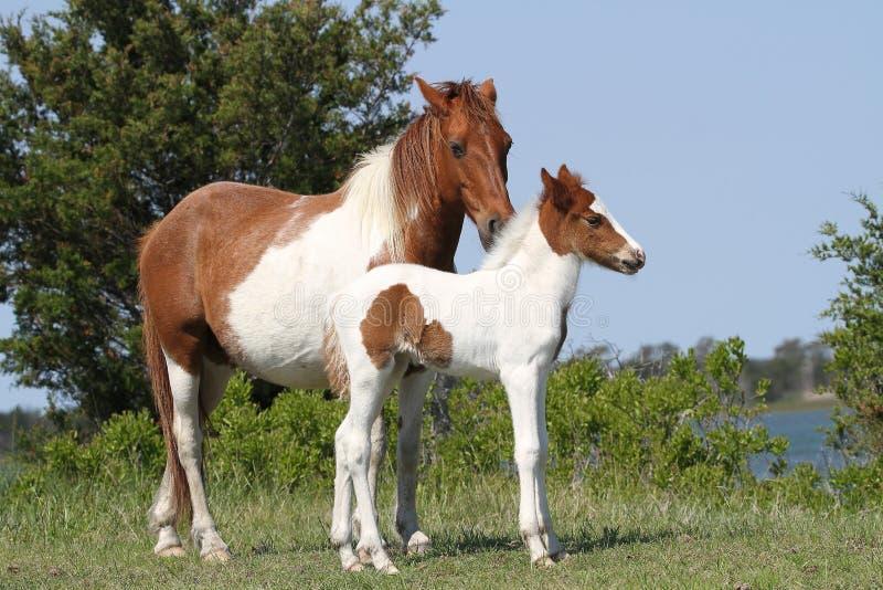 Конематка и осленок пегой лошади каштана стоковые фото