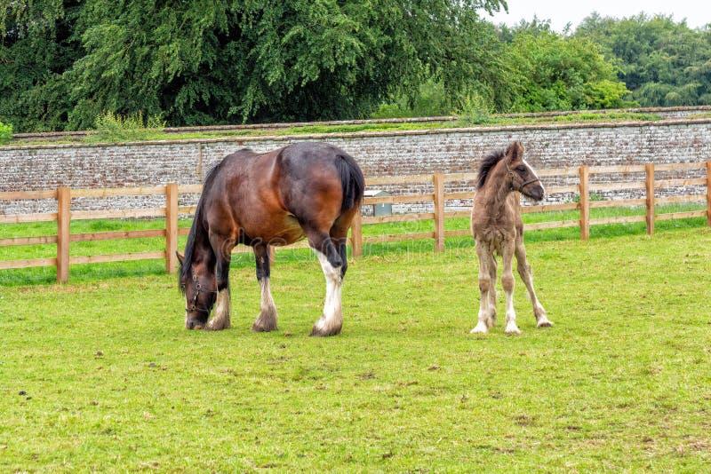 Конематка лошади графства и осленок, дом Sledmere, Йоркшир, Англия стоковые изображения