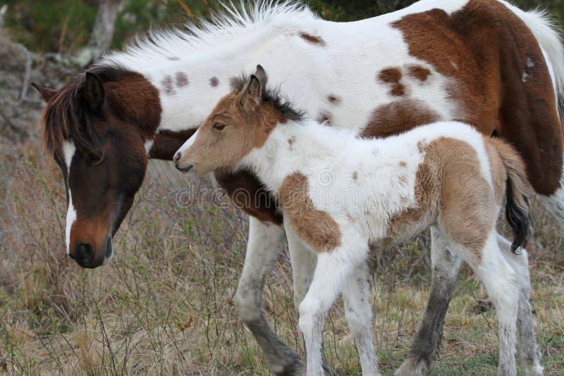 Конематка Chincoteague и осленок пегой лошади лосиной кожи стоковые изображения rf