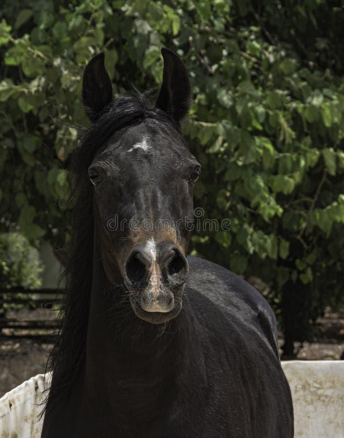Конематки лошади залива вид спереди портрета аравийской главный стоковые изображения