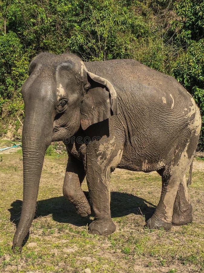 Конец азиатского слона вверх после выходить реки стоковая фотография rf