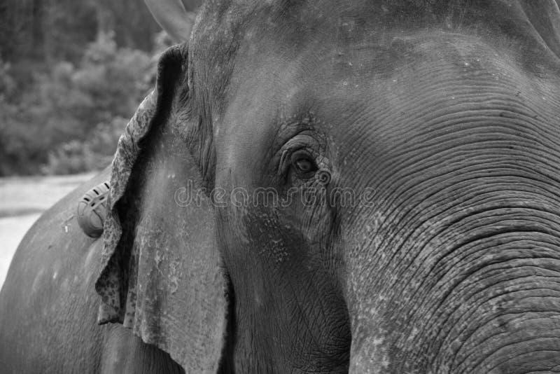 Конец азиатского слона вверх по фото стоковые фото