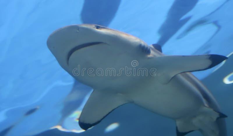 Конец акулы рифа Blacktip вверх, Мауи, Гаваи стоковая фотография rf