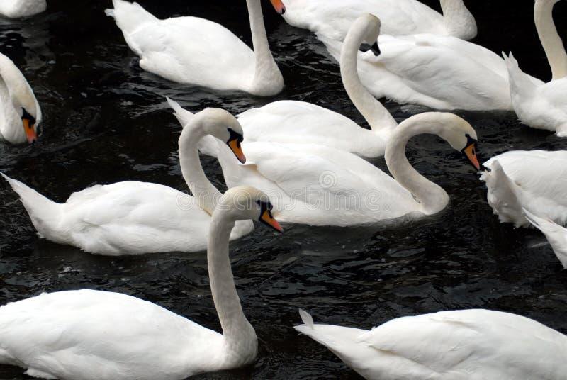 Конец Англии вверх стада белых лебедей плавая в темном Wat стоковое фото rf