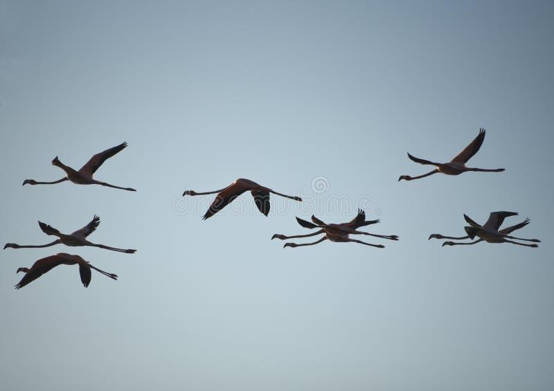 Конец Багамских островов ПТИЦ вверх по силуэту фламинго летая стоковое фото