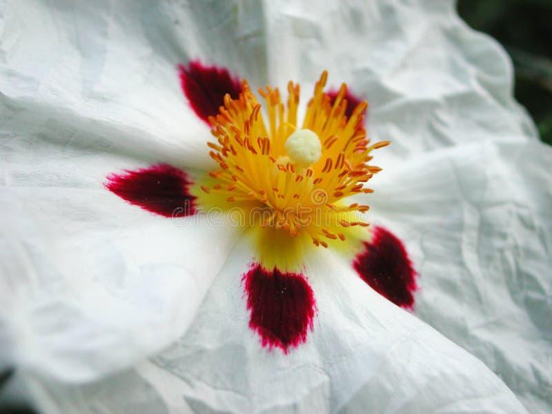 Конец белого цветка вверх кустарника Cistus стоковое фото rf