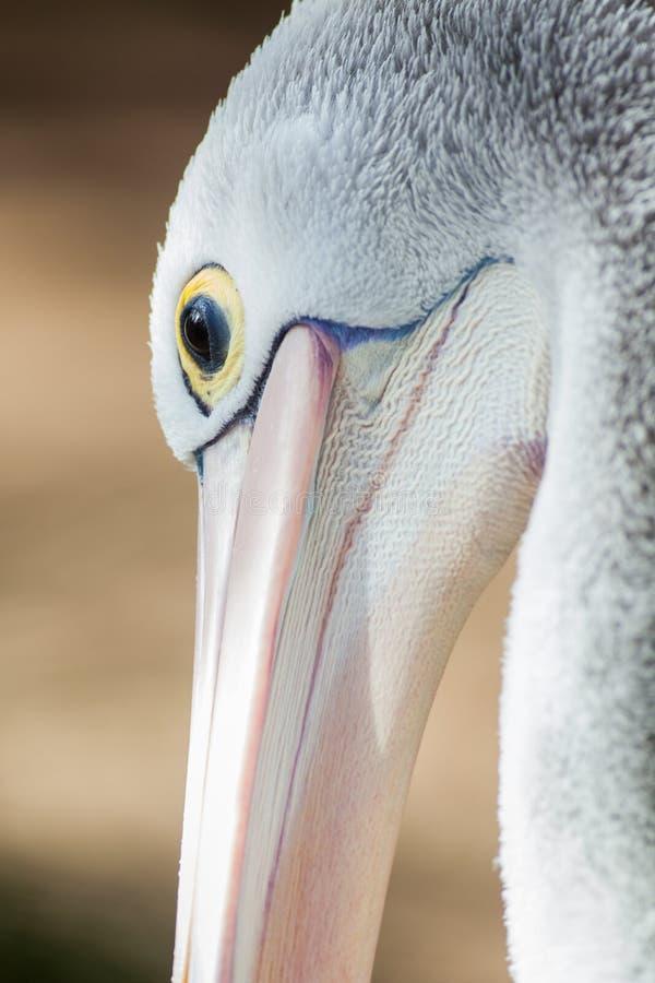 Конец вверх австралийского пеликана в Аделаиде южной Австралии стоковые фотографии rf